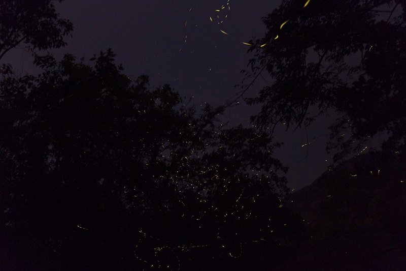 Dance of the fireflies near Rajmachi